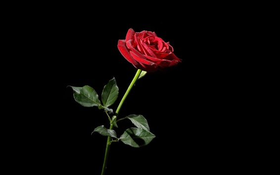 Wallpaper One red rose, black background