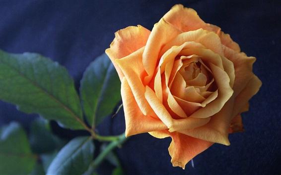 Papéis de Parede Laranja rosa flor close-up