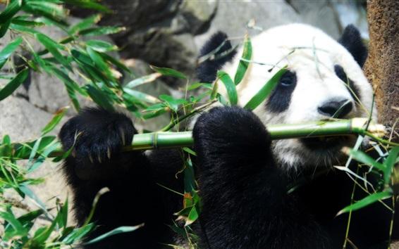 Обои Панда и бамбук