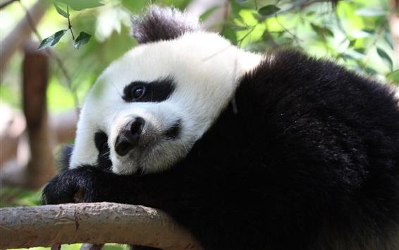 Обои Панда отдыхает в дереве
