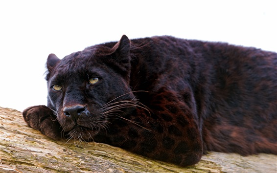 Hintergrundbilder Panther Rest, weißer Hintergrund