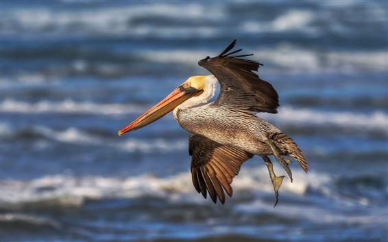 Обои Пеликан летит, крылья