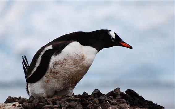 Wallpaper Penguin, bird, beak, stones, sky
