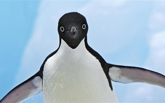 Fond d'écran Vue de face de pingouin, ailes, gouttes d'eau