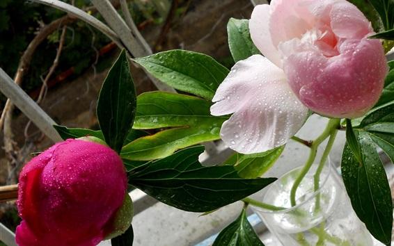 Fond d'écran Pivoines roses, feuilles vertes, gouttes d'eau