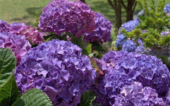 Papéis de Parede Flores de hortênsia roxa, jardim