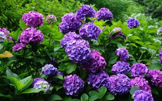 壁紙 紫色の紫陽花