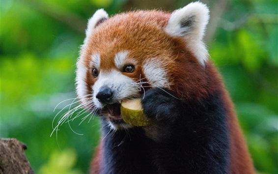 壁紙 赤パンダは果物を食べる