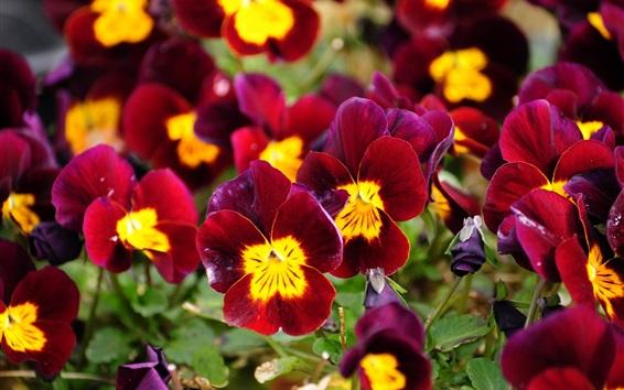 Papéis de Parede Red pansies, flores de jardim