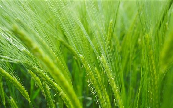 Обои Поле риса, зеленый