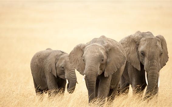 Wallpaper Safari, elephants, grass