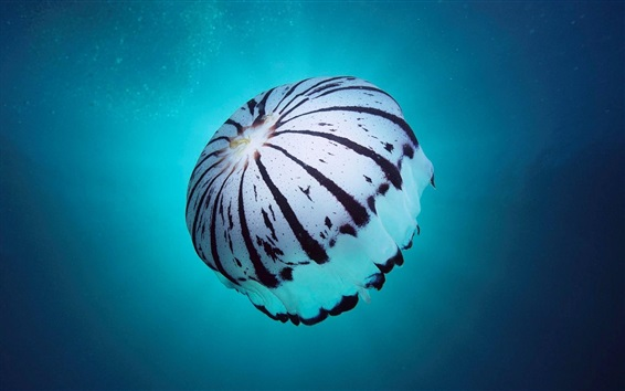 Wallpaper Sea animals, jellyfish, like a umbrella, blue water