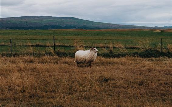 壁紙 羊、草、風