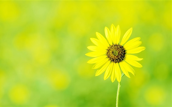 Wallpaper Single yellow flower, spring, bokeh