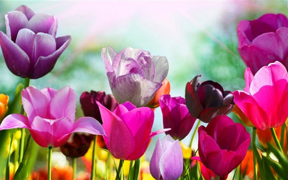 Wallpaper Spring flowers, colorful tulips