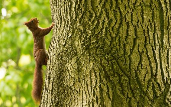 Wallpaper Squirrel climb tree