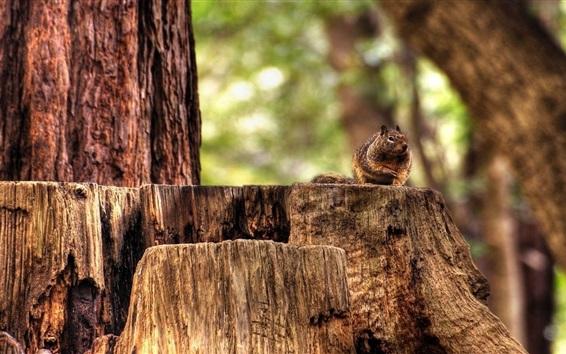 Fond d'écran Écureuil, souche, forêt