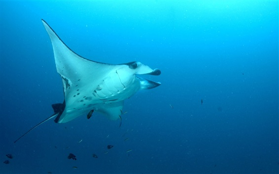 Wallpaper Stingray, sea fish, underwater