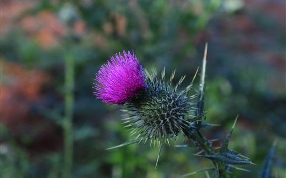 Wallpaper Thistle flower, thorn