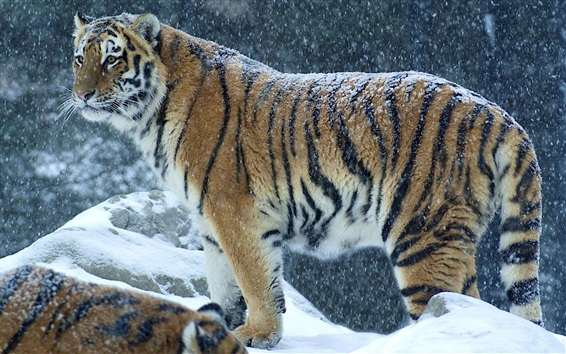 Wallpaper Tiger in the winter, snowy