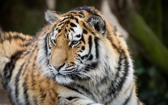 Wallpaper Tiger rest, look back, big cat