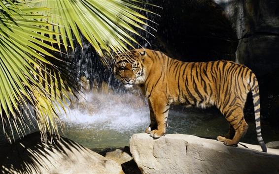 Papéis de Parede Tigre em pé, pedras, cachoeira