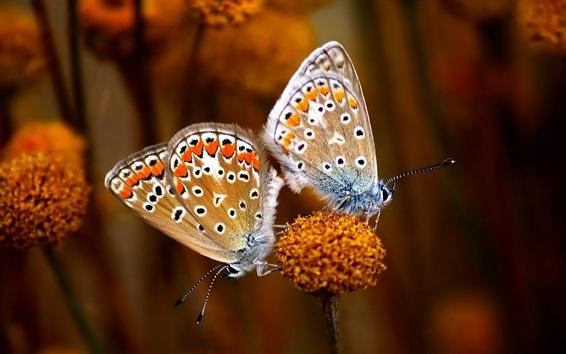 Papéis de Parede Duas borboletas, flor, inseto