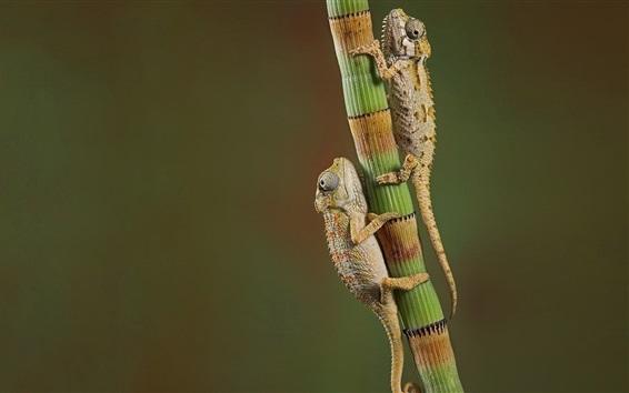 Papéis de Parede Dois camaleões escalam bambu