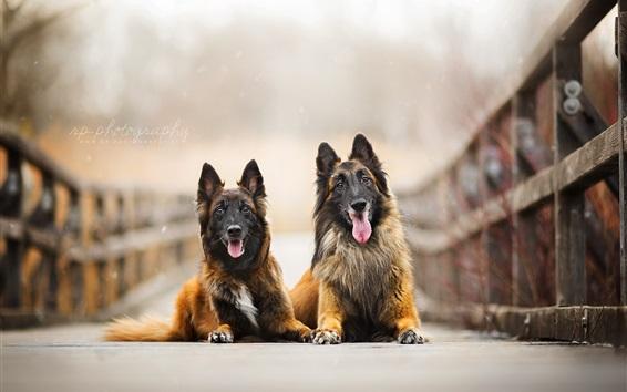 Wallpaper Two dogs, friends, bridge