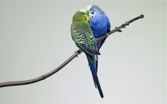 Papéis de Parede Dois papagaios, casal, galhos