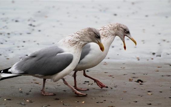 壁紙 2つのカモメがビーチで歩く