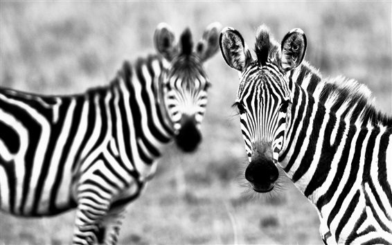 Wallpaper Two zebras, black and white picture