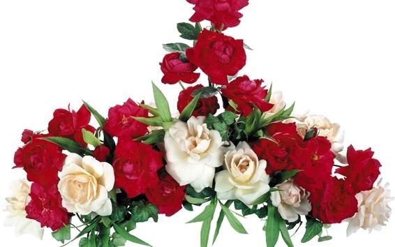 Hintergrundbilder Weiße und rote Rosen, weißer Hintergrund