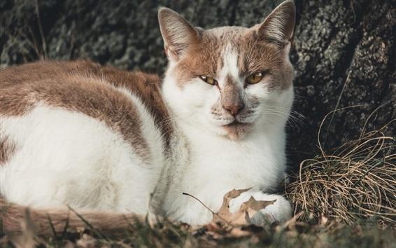Обои Белый коричневый кот