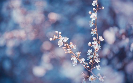 Papéis de Parede Flor de cerejeira branca floresce, galhos, fundo embaçado