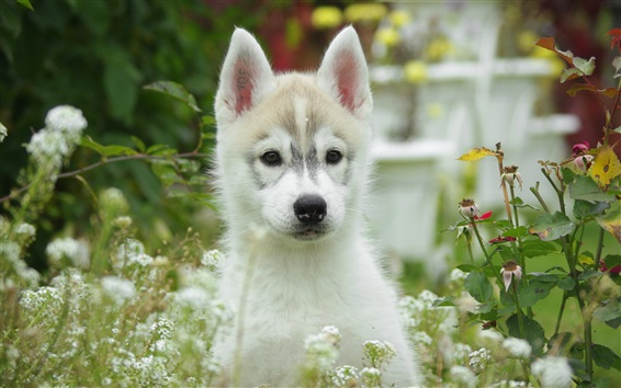 Wallpaper White puppy front view, flowers