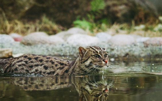 Wallpaper Wildcat swim in water