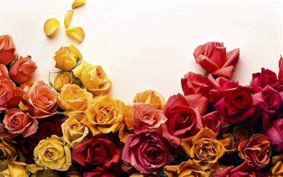 Wallpaper Yellow and red roses, white background