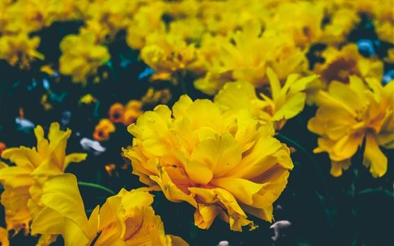 Wallpaper Yellow flowers, petals