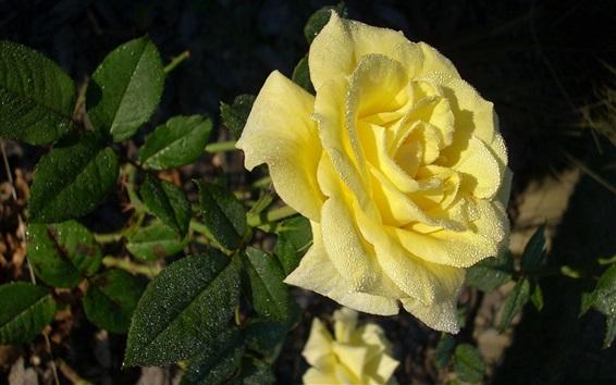 Papéis de Parede Rosa amarela, gotas de água, manhã