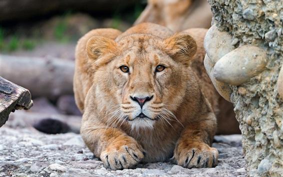 壁纸 年轻的狮子看着你,脸,眼睛,地面