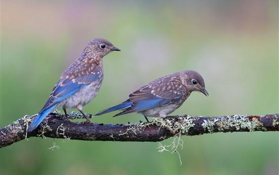 Papéis de Parede Um par de pássaros, ramo