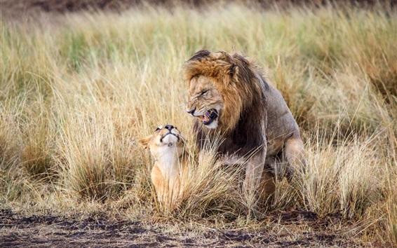 Обои Африка, лев, отец и куб