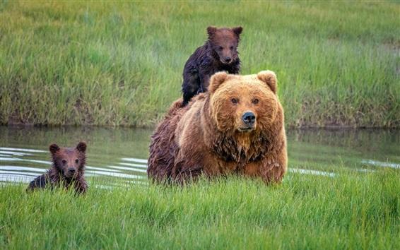 Обои Аляска, медведи, семья, мокрые, детеныши, трава
