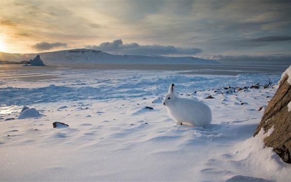 Papéis de Parede Lebre do Ártico, Canadá, neve