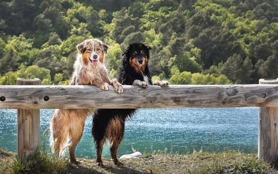 배경 화면 오스트레일리아 양치기 개는 일어 서고,보고, 젖는다