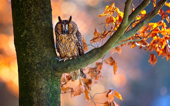 Wallpaper Autumn, tree, red leaves, owl
