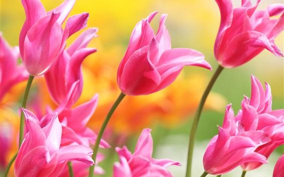 Papéis de Parede Lindas tulipas cor de rosa, pétalas, botões