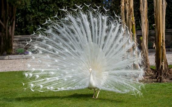 Papéis de Parede Bonito pavão de penas brancas