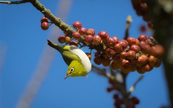 Обои Птица смотрит вниз, ягоды, ветки